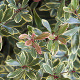 Variegated Juliet Cleyera Shrub Foliage Main