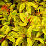 Variegated Lime Sizzler Firebush Foliage Up Close Main