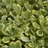 Variegated Mojo Pittosporum Foliage Main
