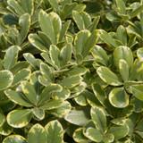 Variegated Mojo Pittosporum Foliage Main