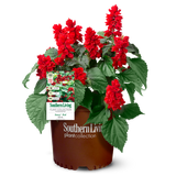 Saucy Red Salvia in Branded Pot Main