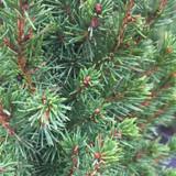 Dwarf Alberta Spruce Needles