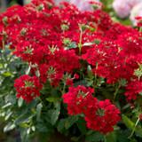 EnduraScape Red Verbena Flowering Main