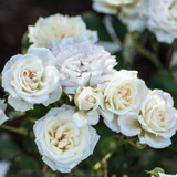 White Drift Rose Flowers Close Up Main