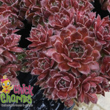 Chick Charms Berry Bomb Sempervivum Main