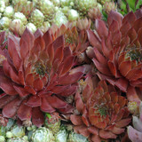 Chick Charms Bing Cherry Sempervivum Main