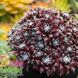 Chick Charms Cosmic Candy Sempervivum Main