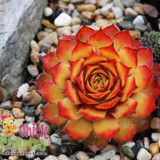 Chick Charms Gold Nugget Sempervivum Main