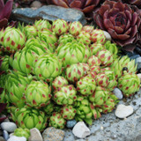 Chick Charms Key Lime Sempervivum Main