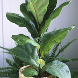 Fiddle Leaf Fig House Plant in Pot