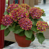 Pistachio Hydrangea Shrub Flowering in a Planter