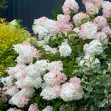 Pink Phantom Hydrangea Flowers