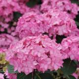 Pink Let's Dance Cancan Hydrangea Flowers