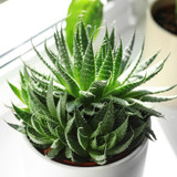 Aloe Hedgehog Indoor Plant