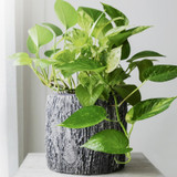 Variegated Pothos Indoor Plant in Planter