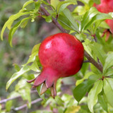 Dwarf Pomegranate Tree Fruit