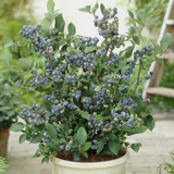 Top Hat Blueberry Bush with Berries