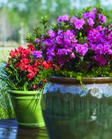 4 Tips for Growing Azaleas in Pots