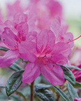 Fertilizer For Azaleas: How To and Why You Should