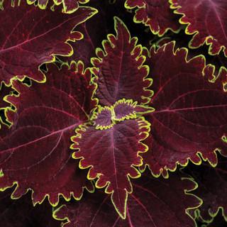 dark red coleus