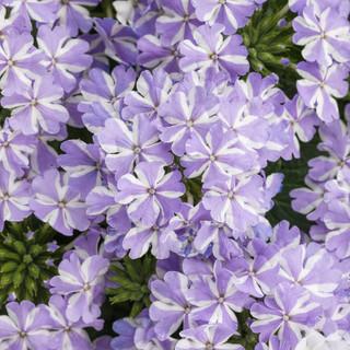 Light purple and white verbena