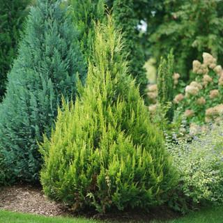 False Cypress Care