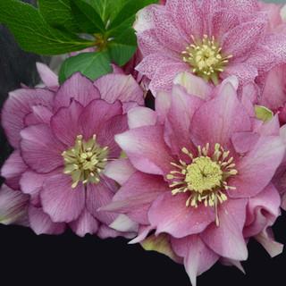 Azaleas With Lenten Roses
