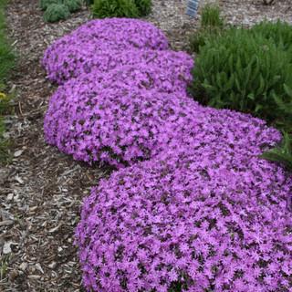 phlox plants