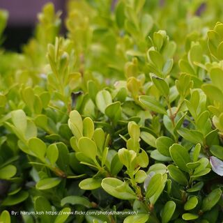 Shop Japanese Boxwoods