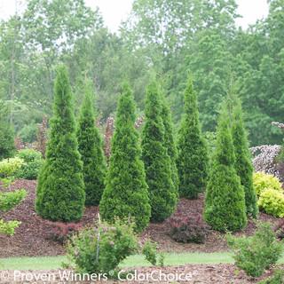 Arborvitae Bushes