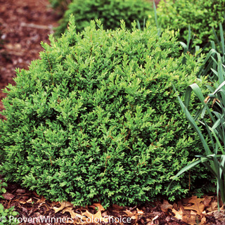 Shop North Star® Boxwood
