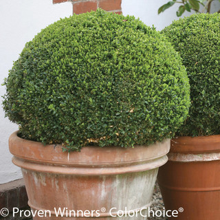 Shop Sprinter® Boxwood