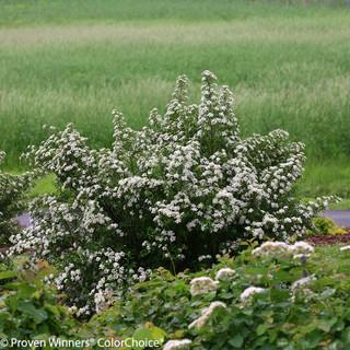 white flower spirea