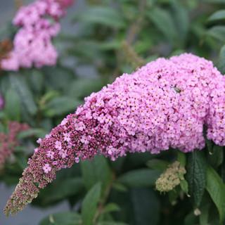 Butterfly Bush Care