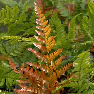 Azaleas With Ferns