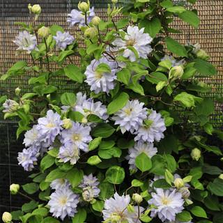 flowering clematis vine