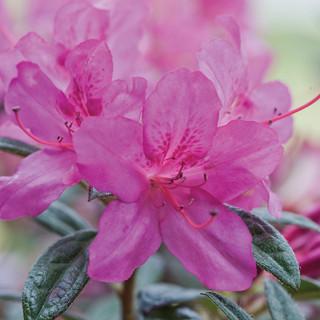 light pink blooming azaleas