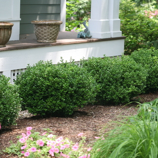 Shop Winter Gem Boxwood
