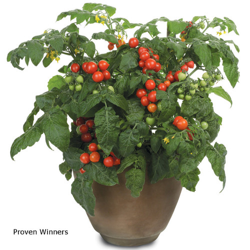 Tempting Tomatoes Goodhearted Plants Growing in Garden Pot