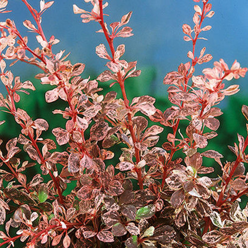 Rose Glow Barberry Foliage