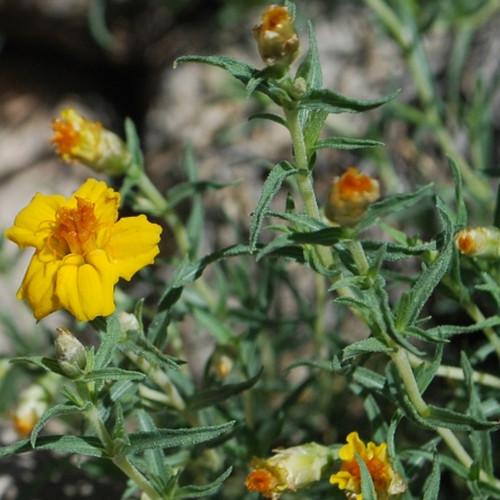 zinnia-grandiflora-flower