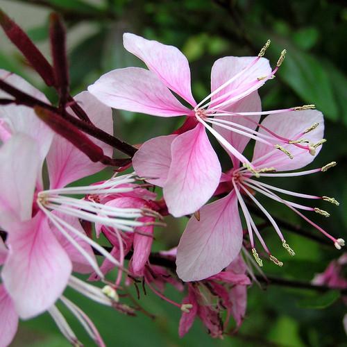 Gaura Plant Flowers and Foliage