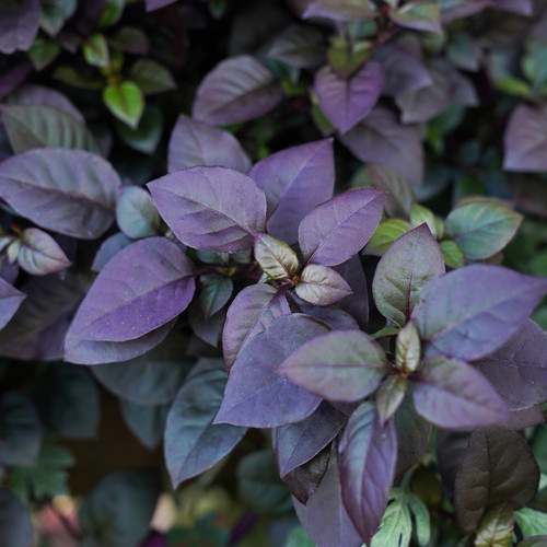 Proven Accents Plum Dandy Alternanthera Foliage