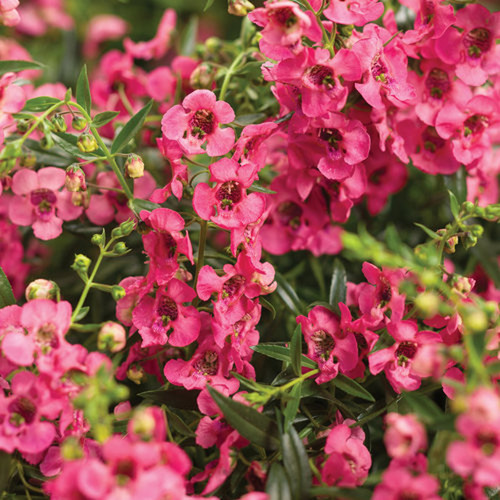 Angelface Cascade Pink Summer Snapdragon Flowering