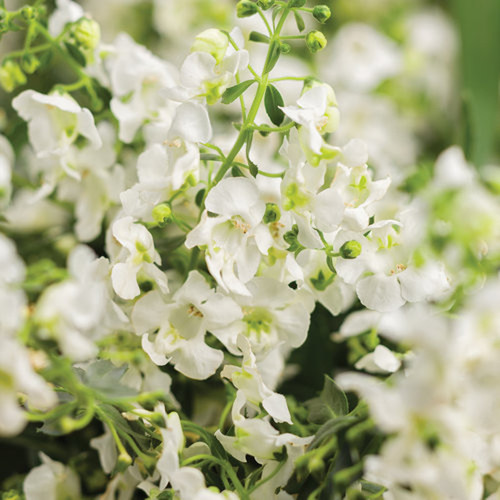 Angelface® Cascade White Summer Snapdragon Flowers and Foliage