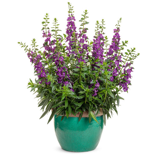 Angelface Super Blue Summer Snapdragon in Annual Planter