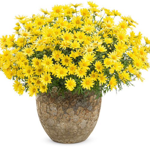 Golden Butterfly Marguerite Daisy Covered in Blooms in Decorative Pot
