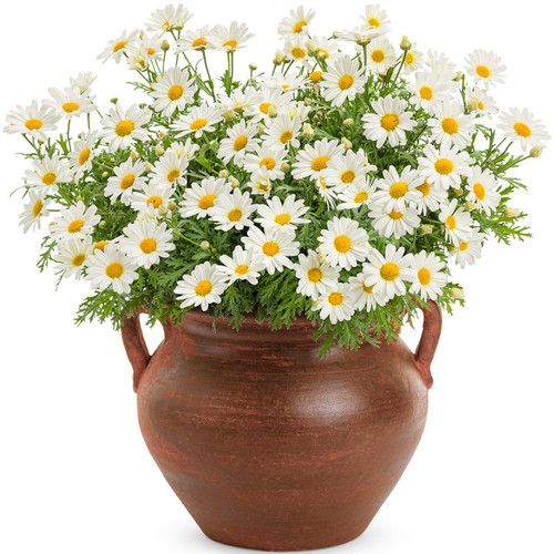 Pure White Butterfly Marguerite Daisy in Terra Cotta Pot