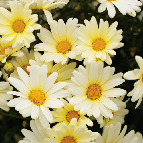 Vanilla Butterfly Marguerite Daisy Flowers Close Up
