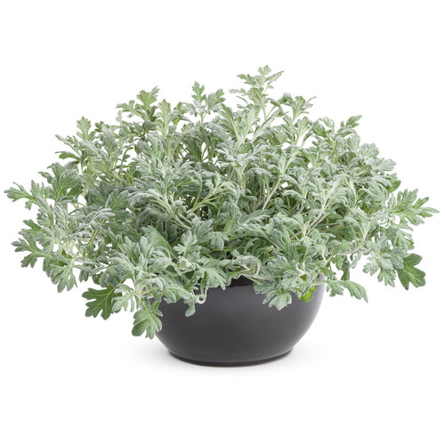 Large Proven Accents Silver Bullet Wormwood Plant Growing in Planter